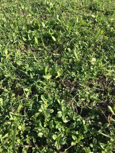 Onkruid managen in kruidenrijk grasland